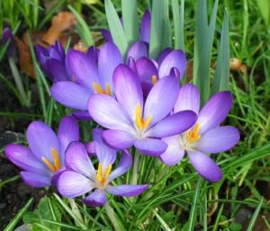 Вирощування крокусів та інших цибулинних квітів - Чудо-город