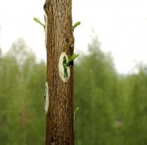 Прививка деревьев окулировкой