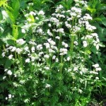 Рослини підрозділ лікарські рослини