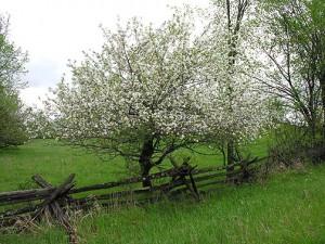 Яблуні та ягоди в своєму саду в